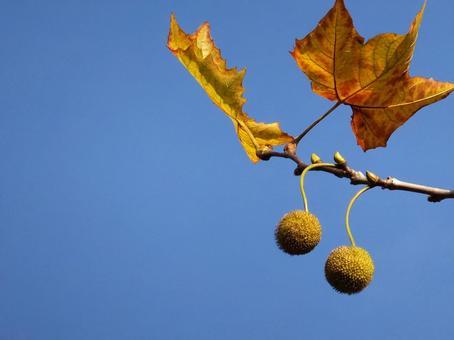 Fruit 2 of Platanus