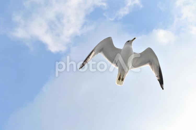 飛ぶウミネコの写真