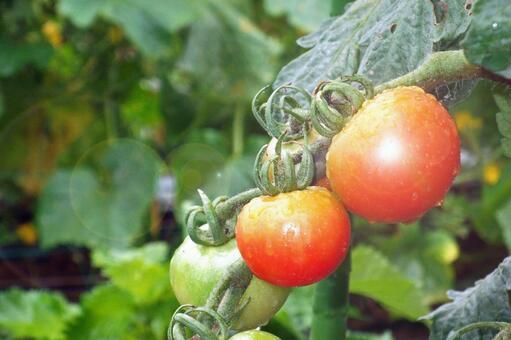 Farm tomato # 3