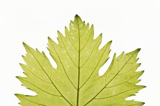녹색 잎 の 에센 (잎) (1)