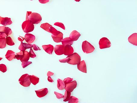 在白色背景上的玫瑰花瓣