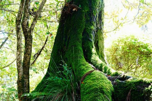 Large tree with moss Sunbeams