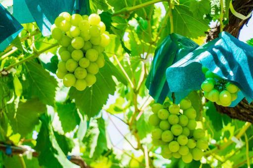 Grape hunting Shine Muscat (Grape hunting 24)