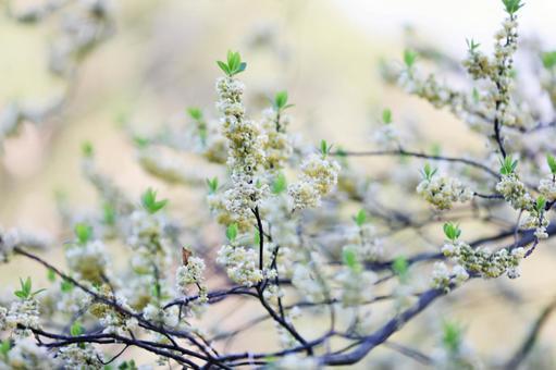 아오모지 꽃