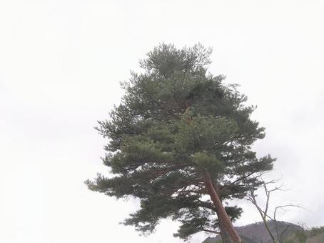 소나무 흐린 하늘 풍경