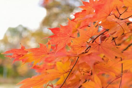Autumn leaves of Hokkaido University