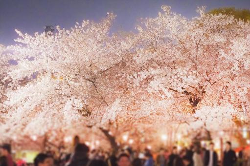 Night cherry blossoms in Tsurumai Park