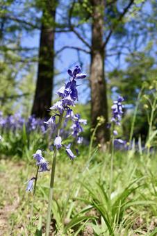 블루 벨 꽃 1