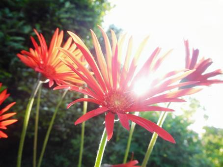 Red Gerbera through the light of the day