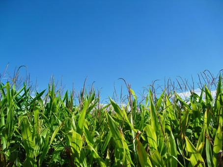 Cornfield in Hokkaido
