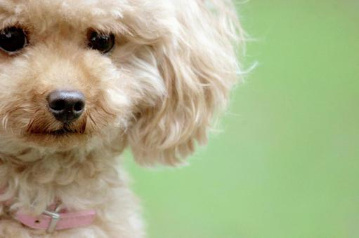 Toy poodle face up