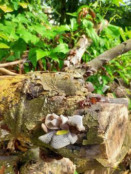 세이셸 그루터기에 밀생하는 버섯