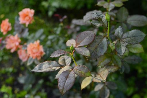 三文魚粉紅玫瑰和帶有晨露的芽 科學名稱孟加拉語