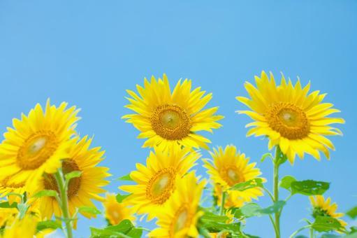 Sunflower field 74