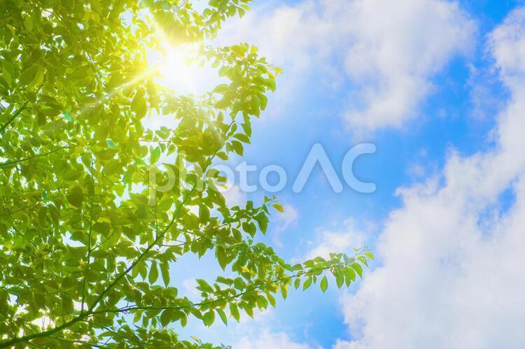 新緑の桜の木と青空と光の写真