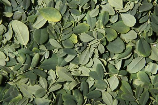 Moringa from Brazil