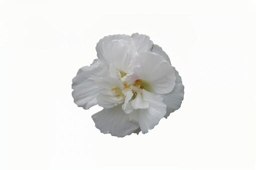 白い花(PSD)