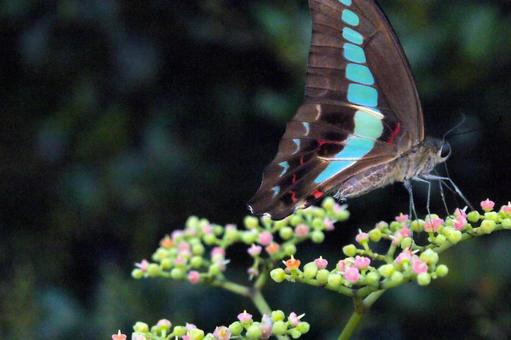 吸蜜하는 청띠 제비 나비