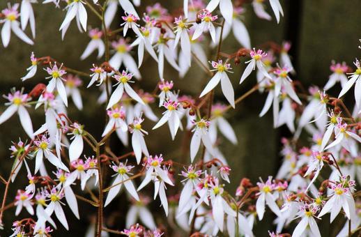 바위취 꽃 만개