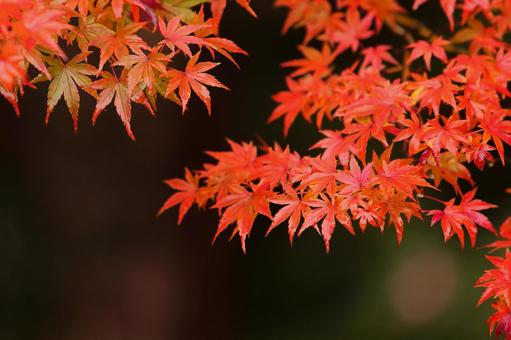 Autumn leaves maple red leaves