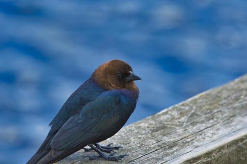 Brown-headed cowbird close-up bar navigation-British Columbia Canada