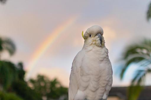 澳大利亞野生鳥類基巴坦英文名Cockatoo彩虹和橙色天空和雲彩和棕櫚樹夏天晚上雨後2