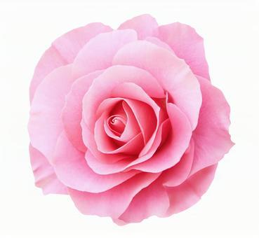 핑크 장미 ※ 오려 내기 경로에 대해 아래 참조