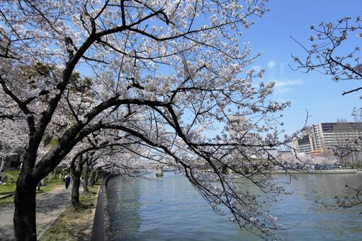 Cherry blossom view Sakonomiya Okawa