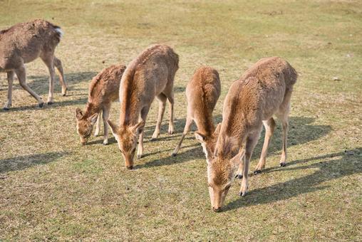 잔디를 먹고 겨울 머리에 사슴의 무리 003