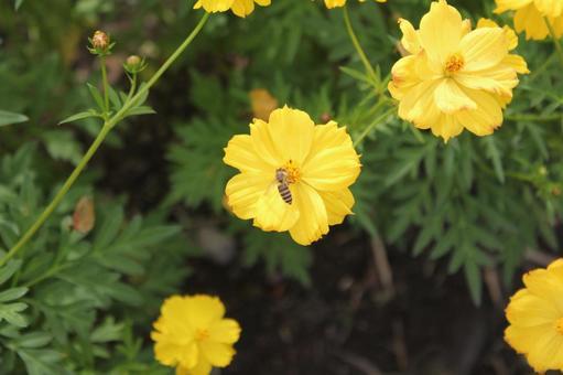 노랑 코스모스와 꿀벌