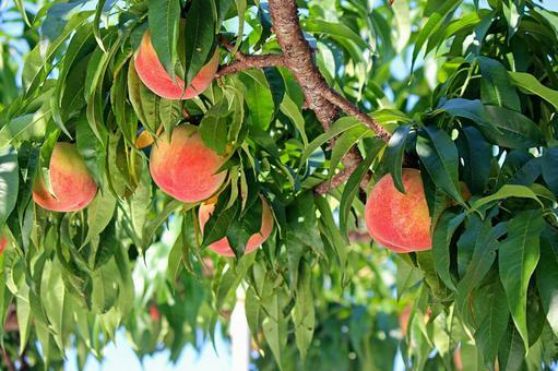 Fukushima peach 2021_02
