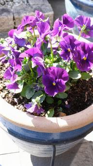紫色的紫羅蘭種植在花盆裡