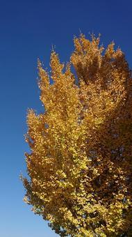 푸른 하늘과 은행 나무 2
