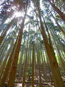 Mountain cedar forest
