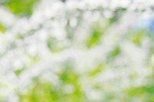 보케있는 야나기 꽃 (텍스처)