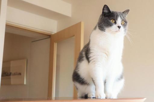자세 잘 앉아 먼 곳을 응시하는 귀여운 하찌와레 고양이 배경 화면