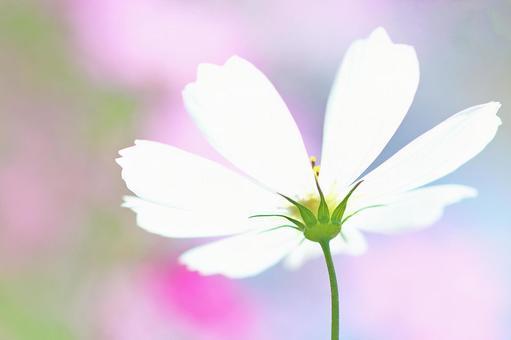 Cosmos autumn cherry blossom white flower