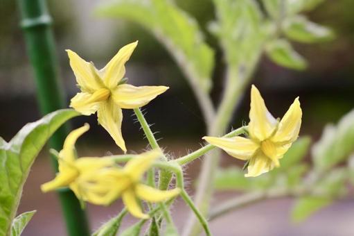 토마토의 꽃