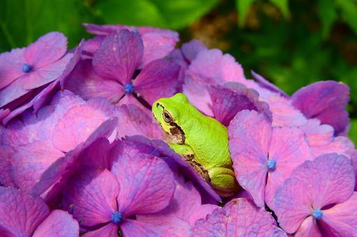 樹蛙在繡球上休息