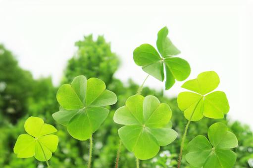 Four leaf clover and white background