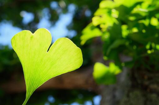 Fresh green ginkgo biloba 1
