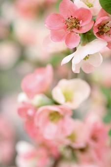 핑크 모과의 꽃