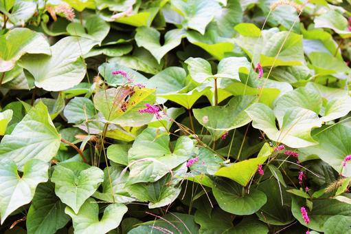 고구마 잎과 개여뀌