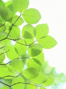 Fresh green leaves young leaves dogwood