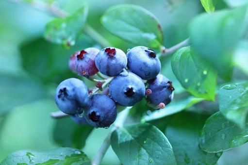 Blueberry tree 3
