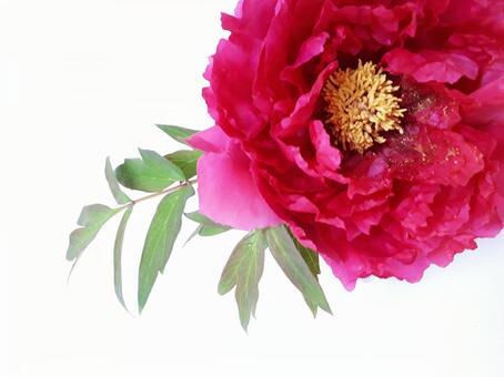 모란 큰 붉은 꽃
