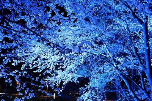 라이트 업 된 밤 벚꽃