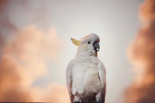 澳大利亞野生鳥Kibatan英國名字美冠鸚鵡朝日風與橙色天空和雲彩葡萄酒樣式中部