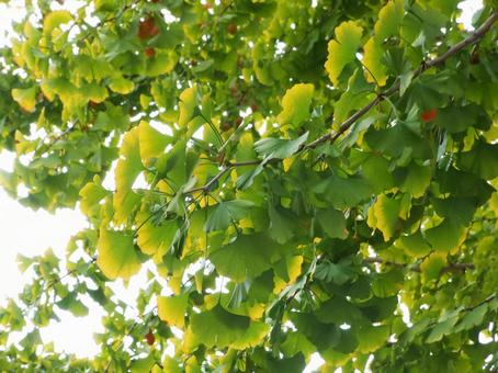 Ginkgo tree branch in front of autumn leaves