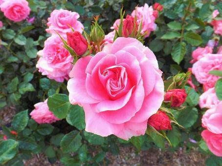 아름다운 장미 꽃 _beautiful rose